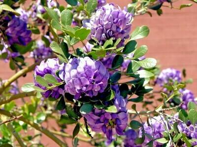 Mountain Laurel Sophora secundiflora