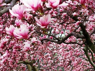 Saucer magnolia soulangiana Pink Chinese Magnolia