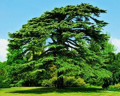 Cedar bonsai Cedrus deodara deodar cedar