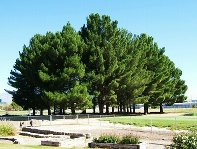 National park pine bonsai Pinus eldarica