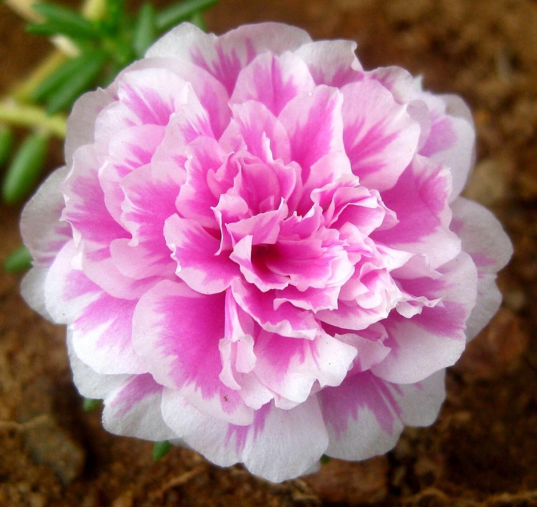 Moss-rose purslane Portulaca grandiflora