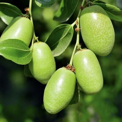 Jojoba Simmondsia chinensis goat nut