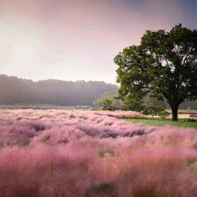 Pink muhly grass Muhlenbergia capillaris