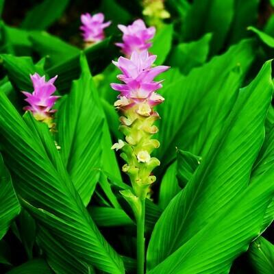 Turmeric Rhizome  Cu Nghe Curcuma longa Zingiberaceae