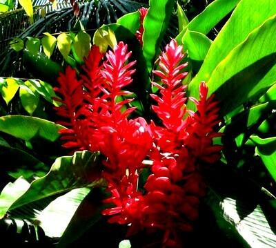 GALANGAL Rhizome THAI Ginger Zingiber Zingiberaceae