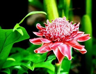 Spicy Ginger Rhizome Plant zingiber officinale