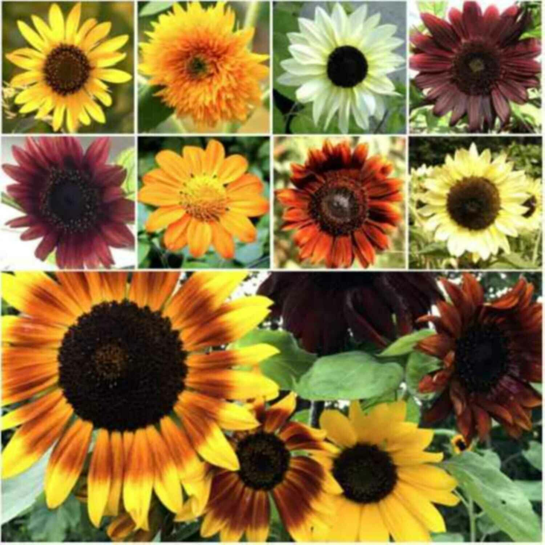 Sunflower Seeds for Planting - Jumbo Mix Pack 15+ Varieties