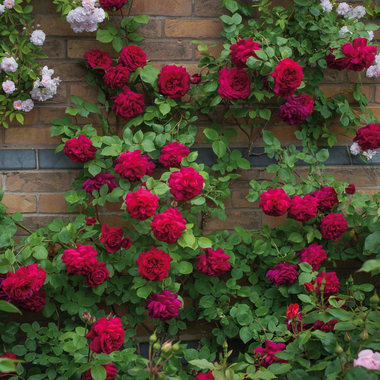 Climbing rose flower rose