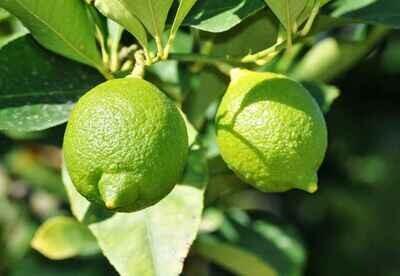 Lemon Tree Citrus Green Lime Plant Cay Chanh