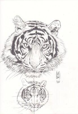 Étude au graphite. Rayures des tigres. Signé PLISSON 2021.
