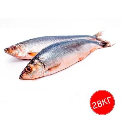 Сельдь 400+  с/м 1*25 кг Фарерские Острова