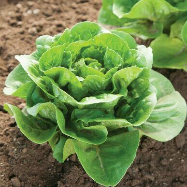 Lettuce Green Leaf Organic/each