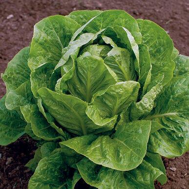 Lettuce Green Romaine Organic/each