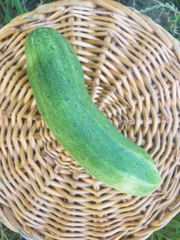 Cucumbers Persian Organic 2 for