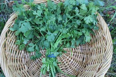 Herb Cilantro Organic/bunch