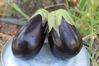 Eggplant Italian Organic each