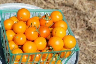 Tomatoes Cherry Yellow/basket