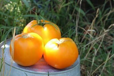 Tomato yellow slicer/lb