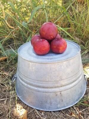 Plum Santa Rosa Organic/lb