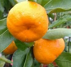 Oranges Mandarin Satsuma/lb