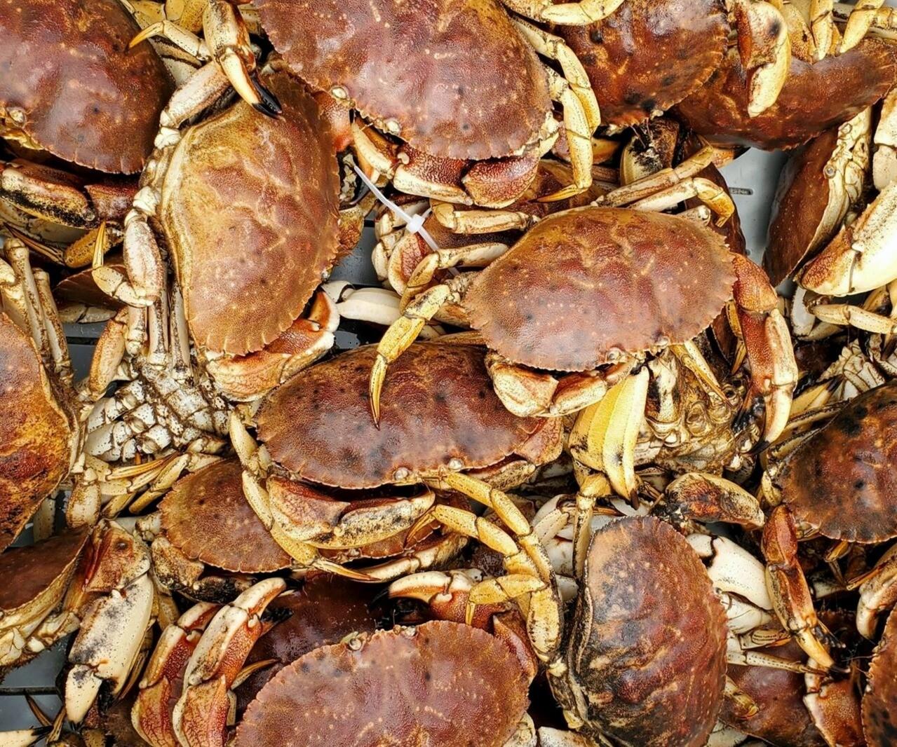 Live Maine Crab