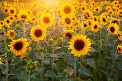 Bio Sonnen- blumenöl