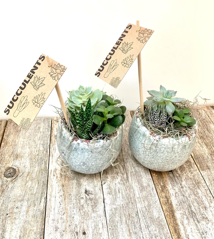 $45 Live Succulent Plants (Set of 2) in Ceramic Planters