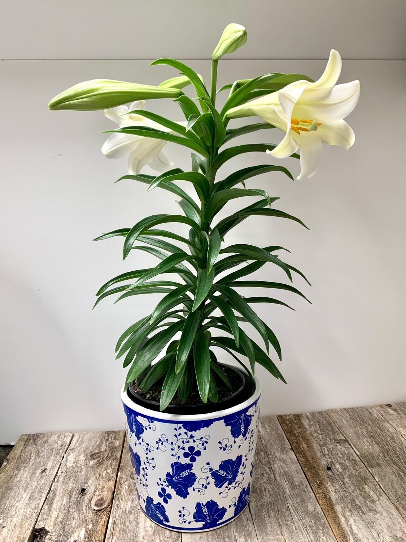 $45 Live Lily Plant in Premium Planter