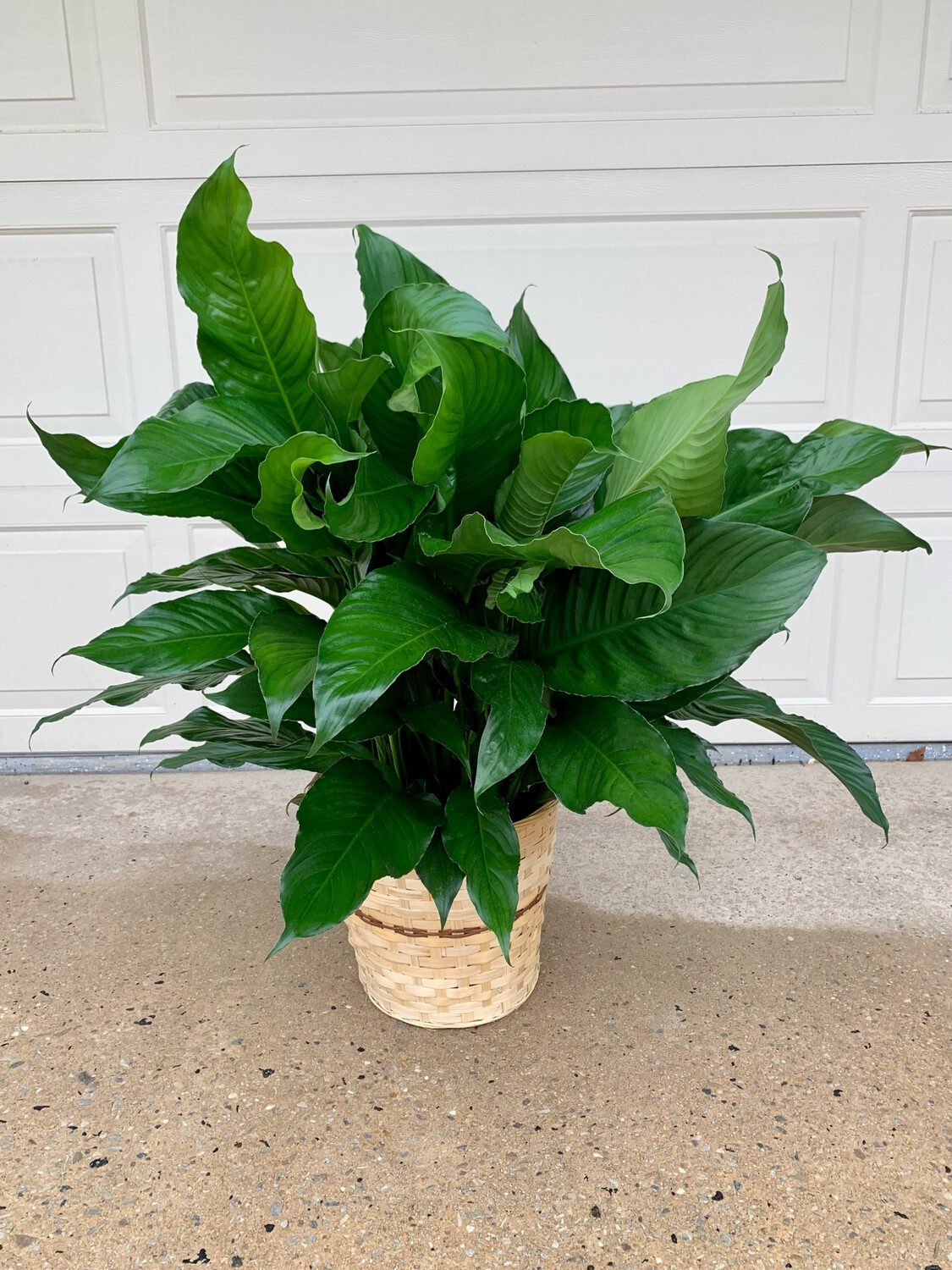 Live Green Plant in Container - Special Order 2 Business Days Ahead - Call For Pricing And Availability