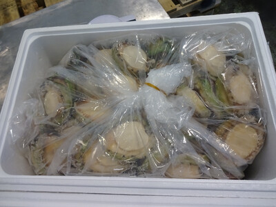 Large australian abalone-(150g-225g per piece) 15kg one case/ 空运澳大利亚大鲍鱼-(2-3 头)15公斤一箱