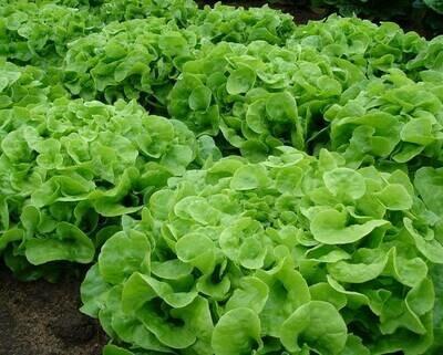 Oakleaf Green Lettuce