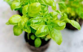 Basilic (petit pot)