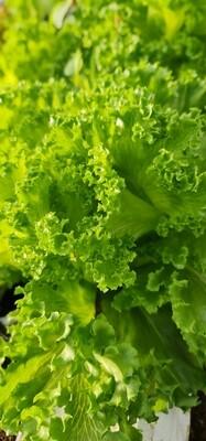 Laitue frisée verte Zéro pesticide(ut)