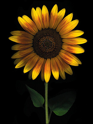 Birthday - Sunflower