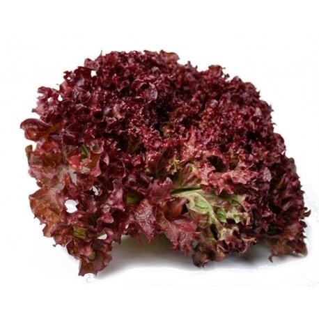 Lettuce Red Lollo خس لولو أحمر (Piece) - Hydroponic