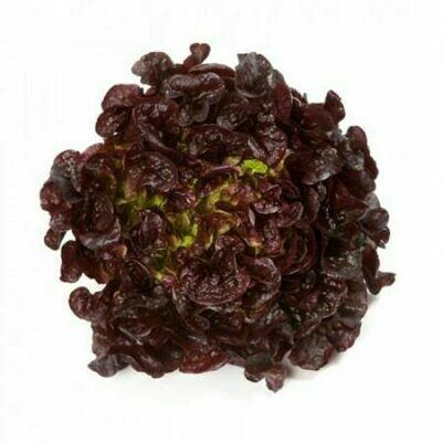 Oak Leaves Red خس أحمر ذو أوراق البلوط (Piece) - Hydroponic