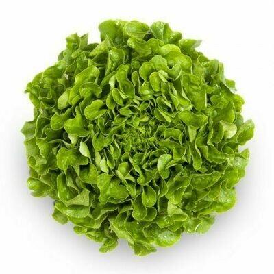 Oak Leaves Green خس أخضر ذو أوراق البلوط (Piece) - Hydroponic