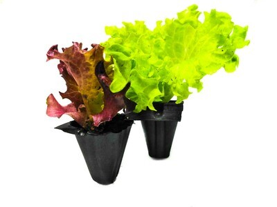 Lettuce Colored خس ملون (Seedling) - Nature by Marc Beyrouthy