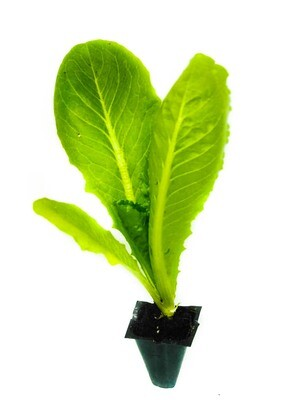 Lettuce Roman خس (Seedling) - Nature by Marc Beyrouthy