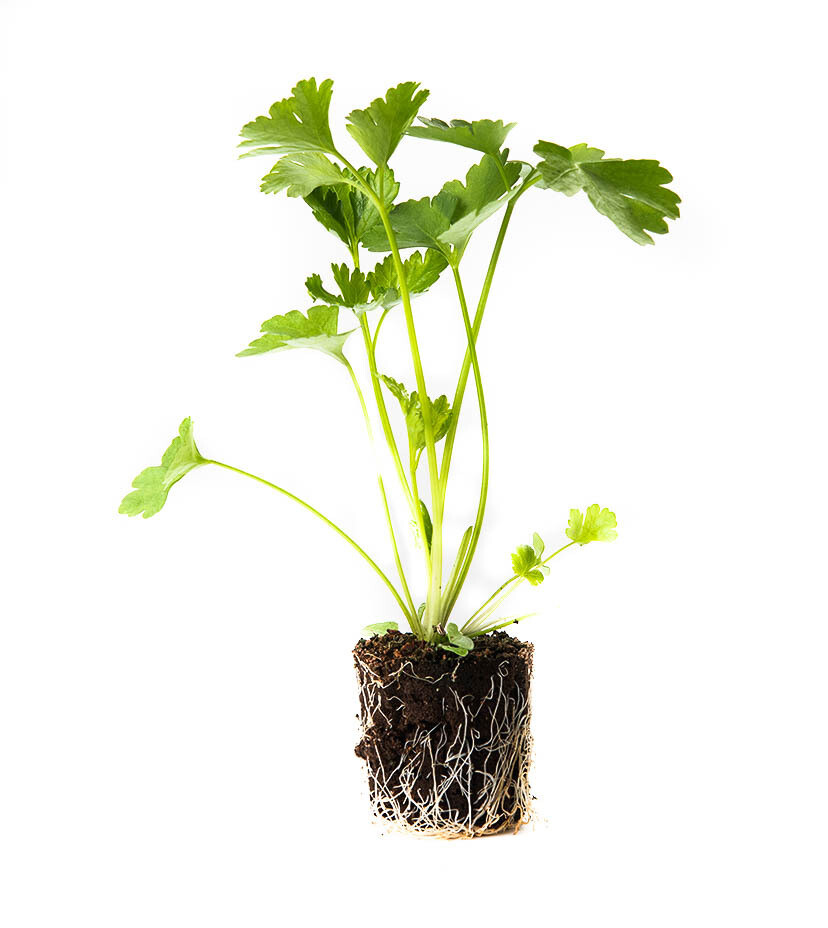 Parsley بقدونس (Seedling) - Nature by Marc Beyrouthy