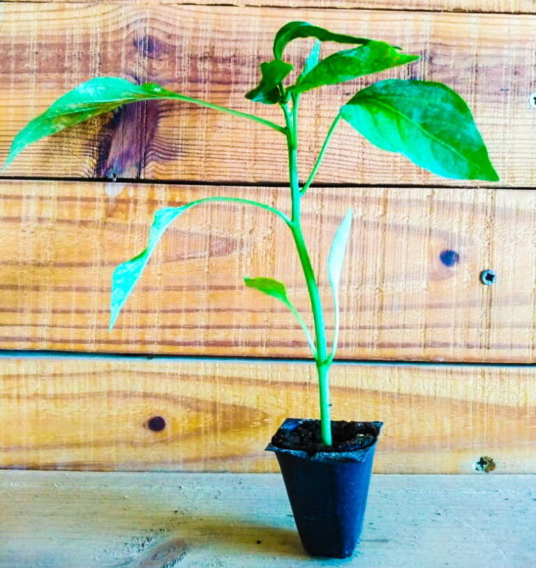 Hot Pepper فلفل حار (Seedling) - Nature by Marc Beyrouthy
