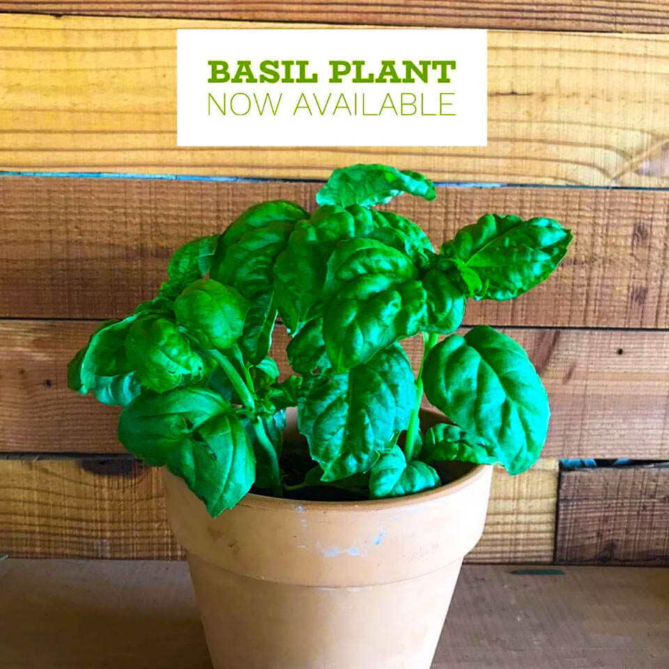 Basil حبق (Plant) - Nature by Marc Beyrouthy