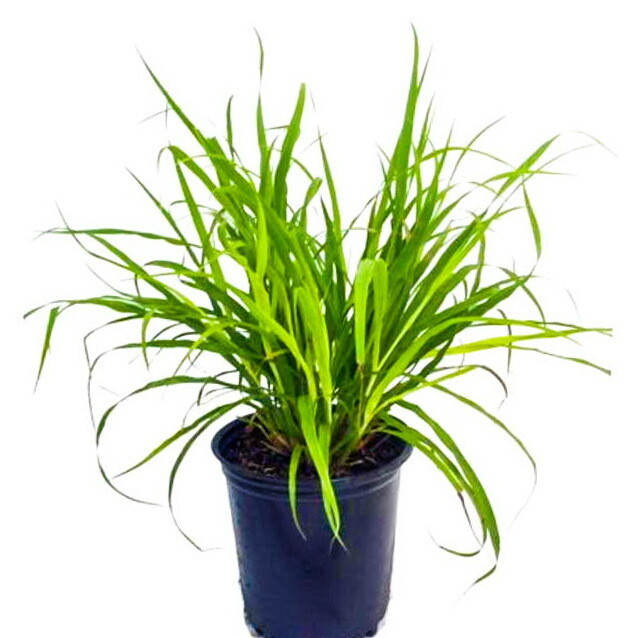 Lemon Grass شاي أخضر (Plant) - Nature by Marc Beyrouthy