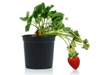 Strawberry فراولة (Plant) - Nature by Marc Beyrouthy