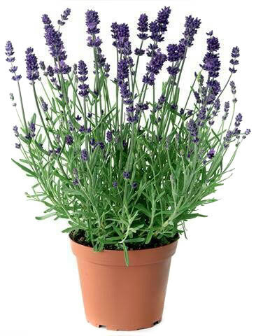 Lavender خزامى (Plant) - Nature by Marc Beyrouthy