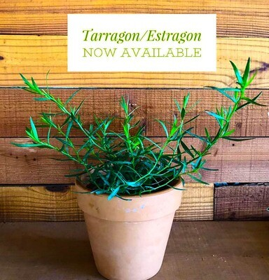 Tarragon  الطرخون (Plant) - Nature by Marc Beyrouthy