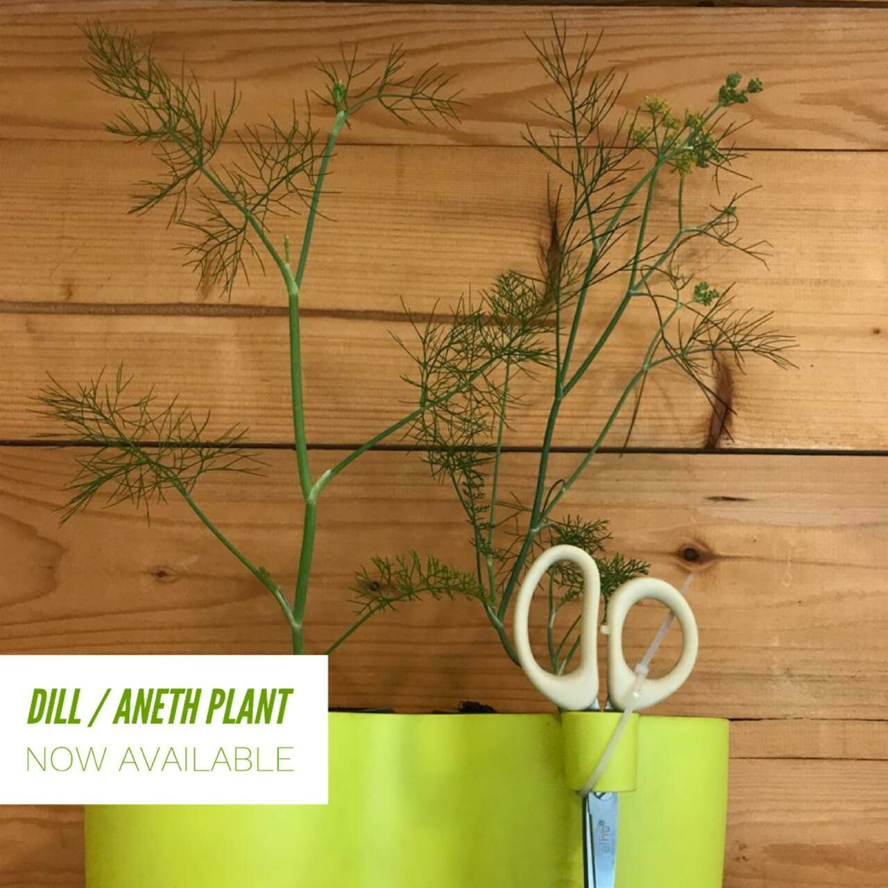 Dill شبط (Plant) - Nature by Marc Beyrouthy