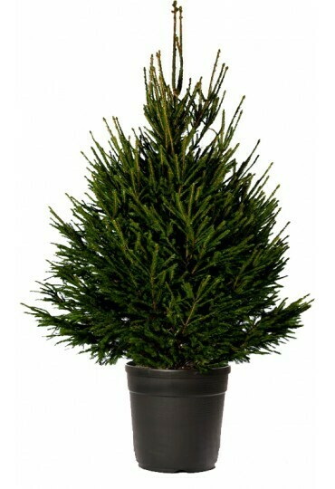 Picea excelsa N-Living (88$) - Nature by Marc Beyrouthy