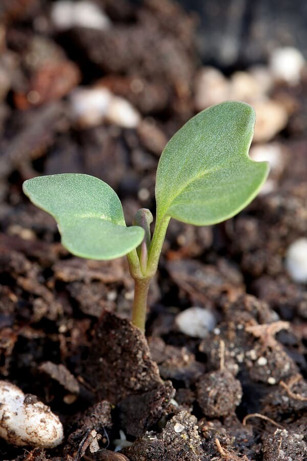 Cabbage ملفوف (Seedling) - Nature by Marc Beyrouthy
