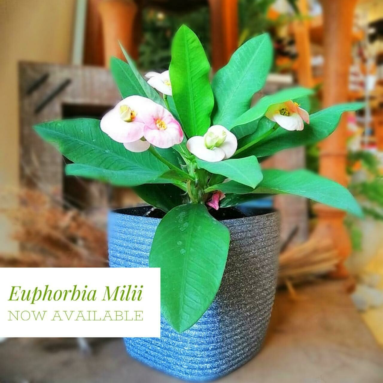 Euphorbia milii (Plant) - Nature by Marc Beyrouthy